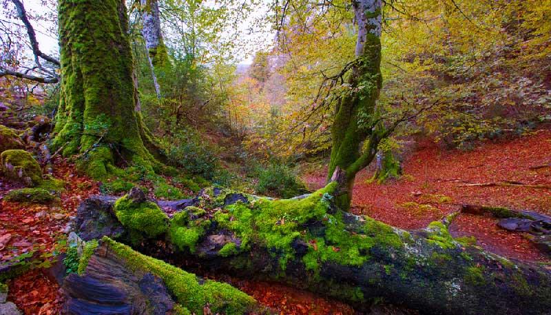 Irati woud