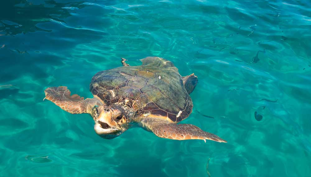 Carreta-Carreta schildpad bij Zakynthos