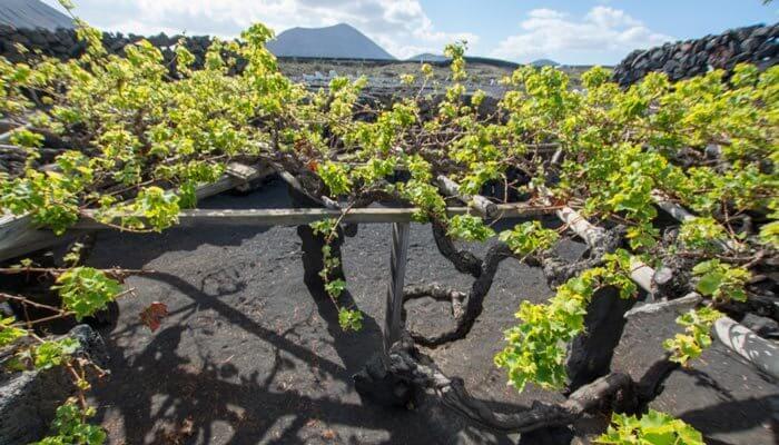 bijzondere bezienswaardigheden lanzarote wijnstok el grifo