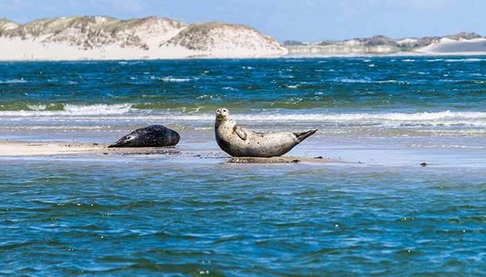 Zeehonden spotten tijdens je vakantie op Vlieland